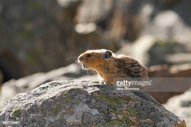 this is my rock! - pika stock pictures, royalty-free photos & images