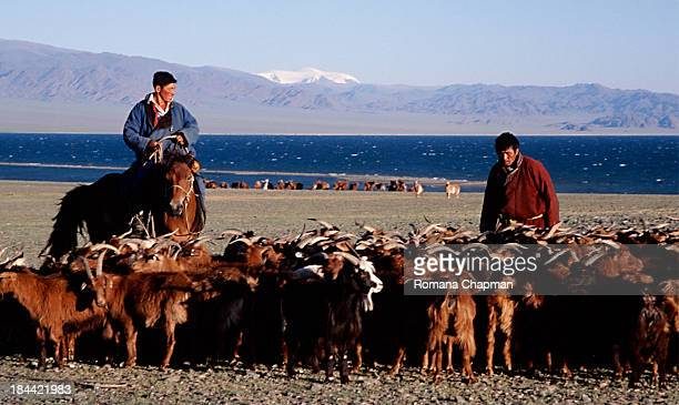 This is taken in Western Mongolia. Goat herders are counting their goats here on lake Uureg Nuur, Goats are kept in Mongolia for their cashmere wool,...