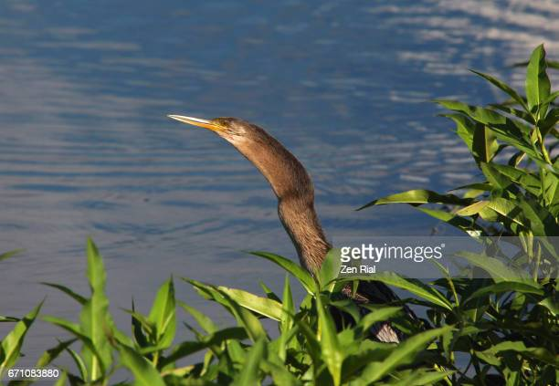 This is why Anhinga is also called a Snakebird - La Chua trail, Paynes Prairie in Gainesville, Florida, USA