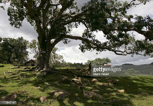 This large tree is where are the Maroon elders met as they held their summit to discuss the terms for peace with the British pictured August 22 in...