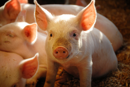 This Little Piggie... 157402234