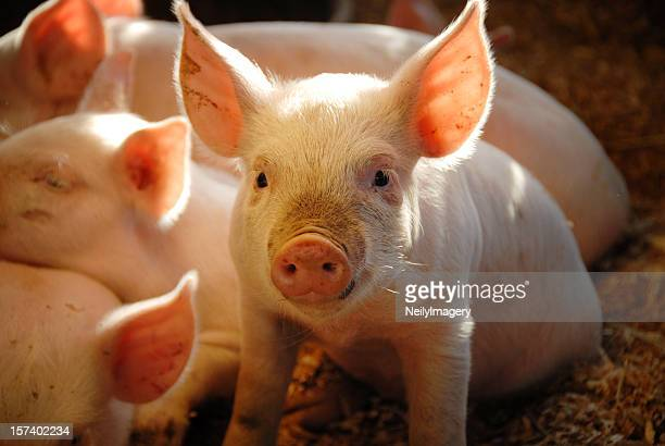 this little piggie... - livestock stock pictures, royalty-free photos & images