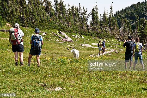 Mountain Goat Surrounded by Hikers