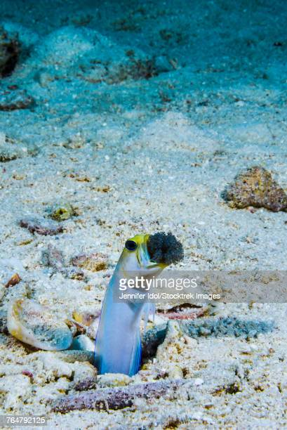 This male jawfish aerates the eggs he protects, Grand Cayman, Cayman Islands.