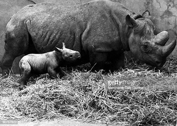 This male rhinoceros was born on 22 February 1971 measured three feet in length and weighed 1001 lbs The twoandahalfton mother named Suzie came to...