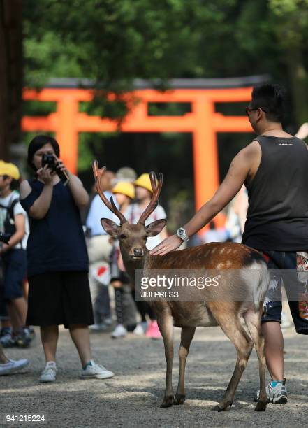 This May 31 2016 picture shows foreign tourists taking a picture with a deer at the Nara park in Nara Faced with a growing number of injuries from...