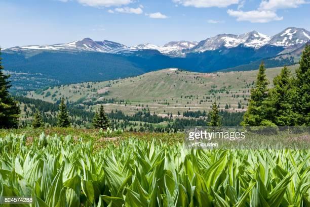 偽ヘレボルスとサンファン山脈の草原 - バイケイソウ ストックフォトと画像