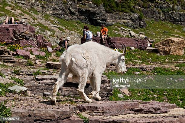 Mountain Goat Walking by Hikers