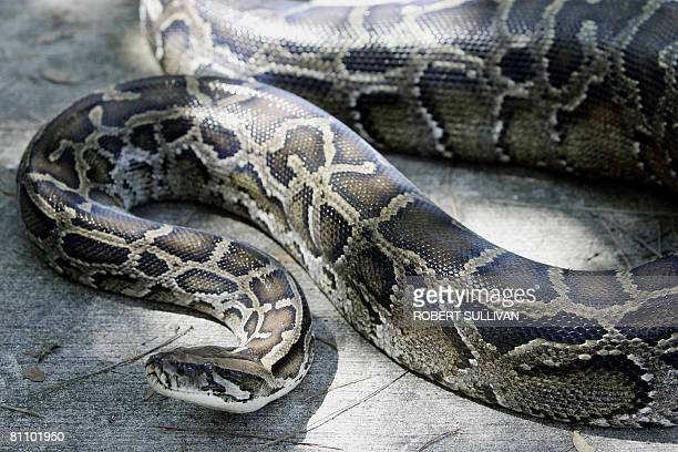 This October 10 2005 file photo shows a 12foot Burmese python that was captured in the backyard of a home at its new residence in the AD Barnes Park...