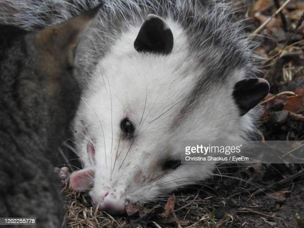 this opossum is playing dead - opossum foto e immagini stock