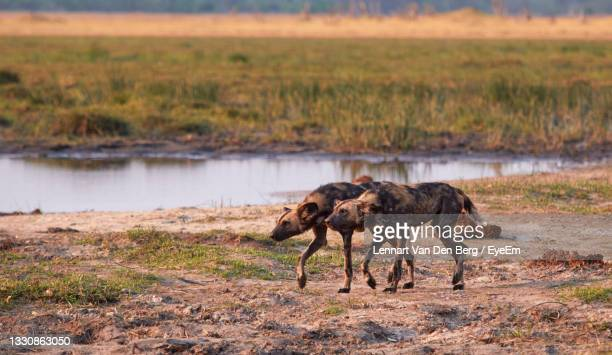 this pack of wild dogs are chasing a leopard away. - pack of dogs stock pictures, royalty-free photos & images