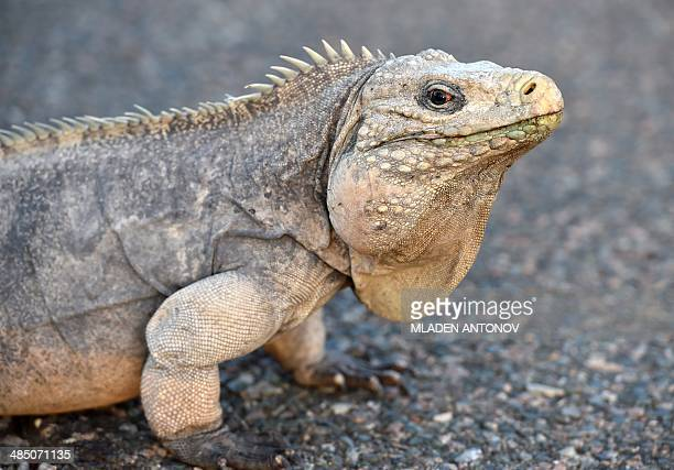 This photo made on April 9 2014 in Guantanamo Bay naval base Cuba shows an Iguana walking on a road of the base Iguana is a genus of herbivorous...