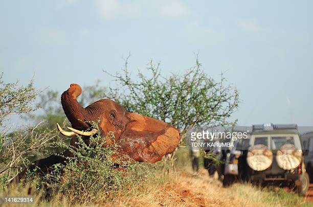 This photo made on March 19, 2012 shows a just-revived elephant, that had been sedated for collaring by Kenya Wildlife Services, KWS, and...