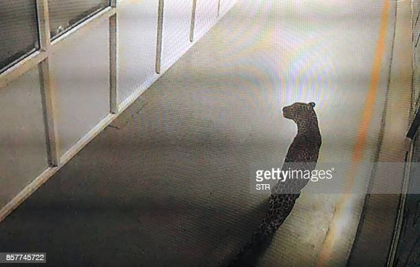 This photo of a screen displaying CCTV footage shows a leopard walking inside an Indian car factory in Manesar on October 5 2017 Wildlife officials...
