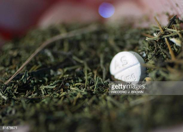 This photo shows a sample of unprocessed sweet wormwood a wild grass being processed by Guilin Pharmaceutical one of only two Chinese companies...