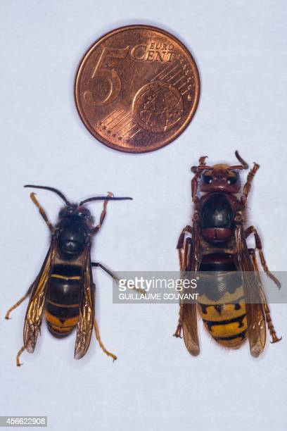 This photo shows an Asian hornet and an European hornet next to a 5 euro cent coin on September 30 2014 at the Research Institute of Biology of the...