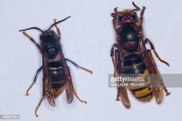 This photo shows an Asian hornet and an European hornet on September 30 2014 at the Research Institute of Biology of the Insect in Tours central...