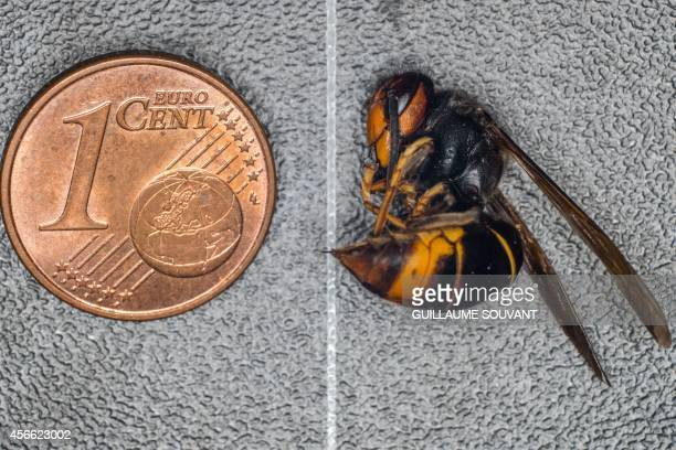 This photo shows an Asian hornet next to a 1euro cent coin on September 30 2014 at the Research Institute of Biology of the Insect in Tours central...