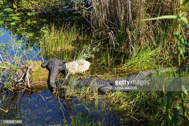 This photo shows Florida alligators in the Anhinga Trail in Everglades National Park in Homestead, Florida, on January 16, 2019. - Four weeks into...
