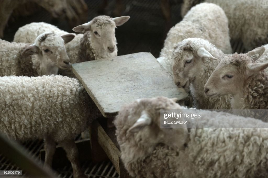 This photo shows lambs at the farm of livestock farmer Xabi Lopepe in Larceveau on January 11, 2018. Lopepe, a 37-year-old farmer, is proud to be one of the founding members of the Cooperative laitiere de Pays Basque (CLPB), a milk cooperative, which was 'created in 2011 to anticipate milk crises, not because of them, but to anticipate them.' /