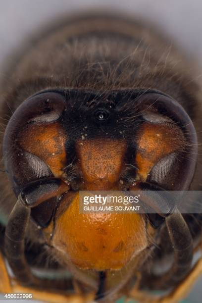This photo shows the head of an Asian hornet on September 30 2014 at the Research Institute of Biology of the Insect in Tours central France The...