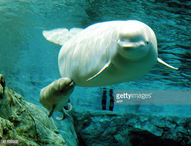 This photo taken 17 July 2004 and recently released shows a baby white beluga snuggling up to its mother in a large fish tank at the Nagoya Port...