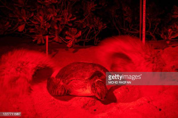 This photo taken in the early morning of June 28, 2020 with a red filter over a light to not disturb the animals shows a green sea turtle attempting...