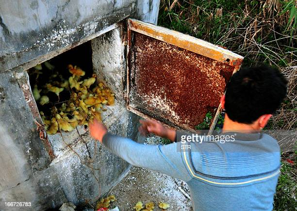This photo taken on April 14 2013 shows a man throwing ducklings into a stove at a duck farm in Zhangzhou south China's Fujian province The duck farm...