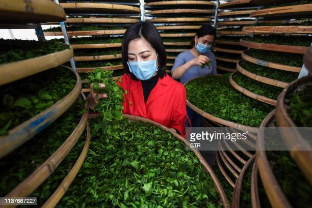 TOPSHOT This photo taken on April 15 2019 shows farmers checking ginkgo leaves used to make ginkgo biloba tea at a tea field in Linyi in China's...