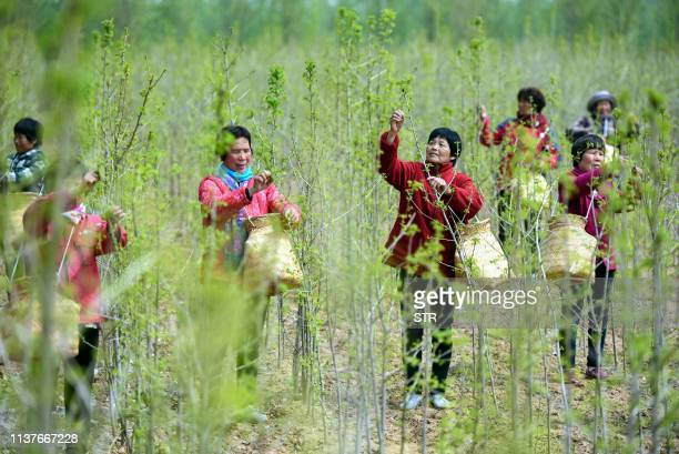 This photo taken on April 16 2019 shows farmers picking ginkgo leaves used to make ginkgo biloba tea at a tea field in Linyi in China's eastern...