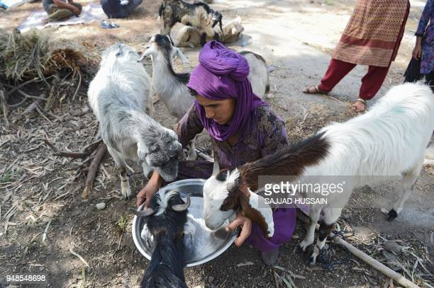 This photo taken on April 18 2018 shows a Kashmiri Muslim Bakarwal nomad giving water to livestock at a temporary camp near Udhampur some 72km north...