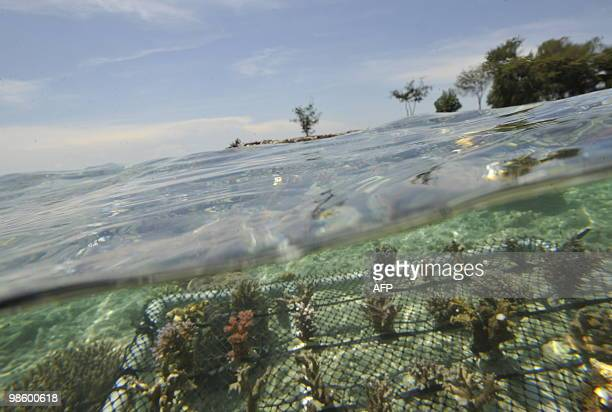 This photo taken on April 20 2010 shows a bed of transplanted young coral at the Thousand Islands National Marine Park in Pramuka island north of...