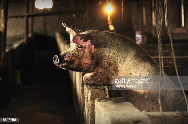 This photo taken on April 28 2009 shows a pig at a farm on the outskirts of Beijing China which has the world's largest pig population has not yet...