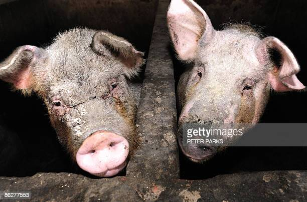 This photo taken on April 28 2009 shows pigs at a pig farm on the outskirts of Beijing China which has the world's largest pig population has not yet...
