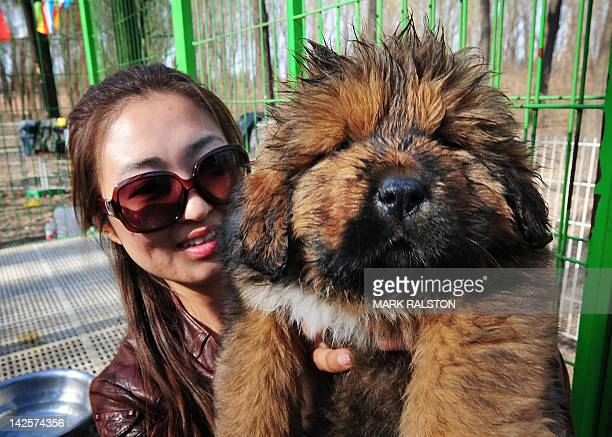 This photo taken on April 6 2012 shows a pedigree Tibetan mastiff puppy on display at a dog show in the town of Daxing near Beijing The animals which...