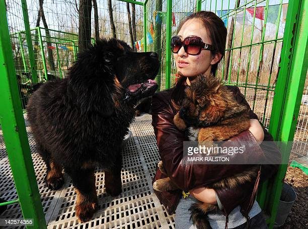This photo taken on April 6 2012 shows pedigree Tibetan mastiff dogs on display at a dog show in the town of Daxing near Beijing The animals which...