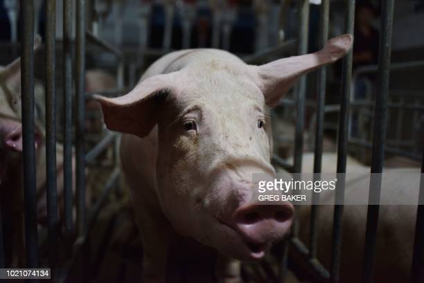 This photo taken on August 10, 2018 shows a pig standing in a pen at a pig farm in Yiyang county, in China's central Henan province. - The powdery...
