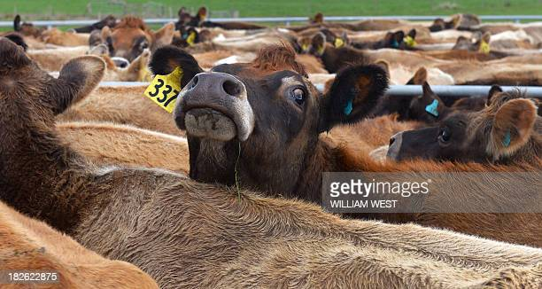 This photo taken on August 11 2013 shows cows in the yard of the milking shed on a dairy farm near Cambridge in New Zealand's Waikato region known...