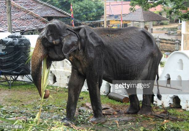 TOPSHOT This photo taken on August 13 2019 shows 70yearold emaciated elephant Tikiri eating at the Temple of the Tooth in the central city of Kandy...
