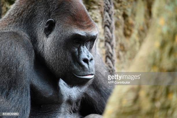 This photo taken on August 17 2017 shows a gorilla at the zoological park in Amneville eastern France / AFP PHOTO / JEANCHRISTOPHE VERHAEGEN