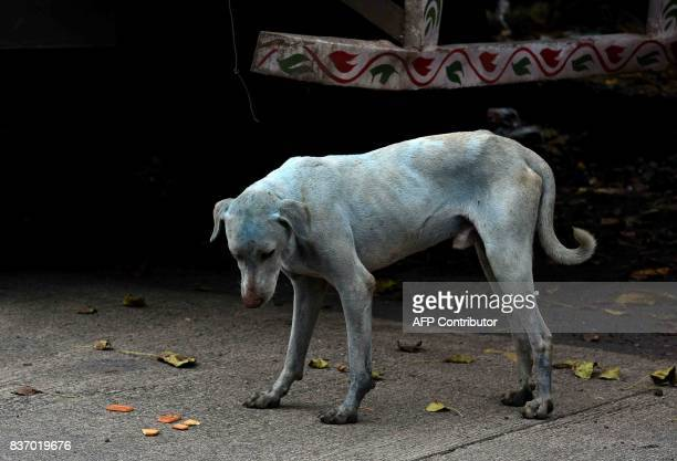 This photo taken on August 17 2017 shows a stray dog with a light blue hue on a street near the Kasadi River in the Taloja industrial zone in Mumbai...