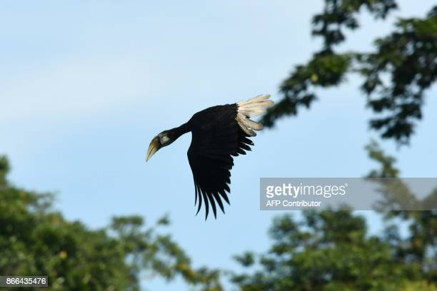 This photo taken on August 23 2017 shows a Blyth's hornbill flying over Sorong's Malagufuk village Agricultural plantations touted as a means to...