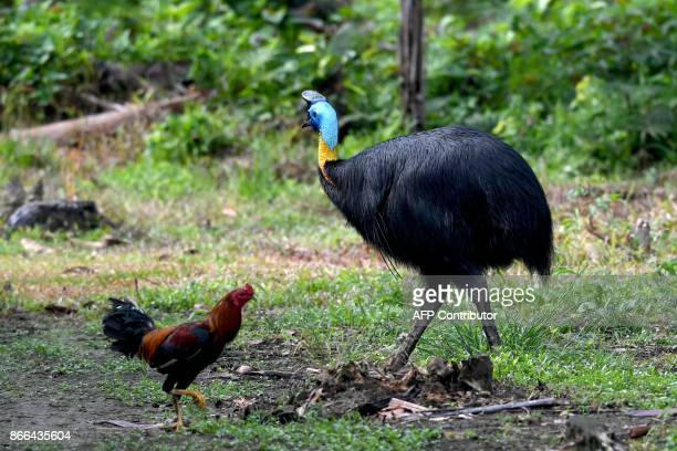 This photo taken on August 23 2017 shows a cassowary wandering about next to a chicken in Sorong's Malagufuk village Agricultural plantations touted...