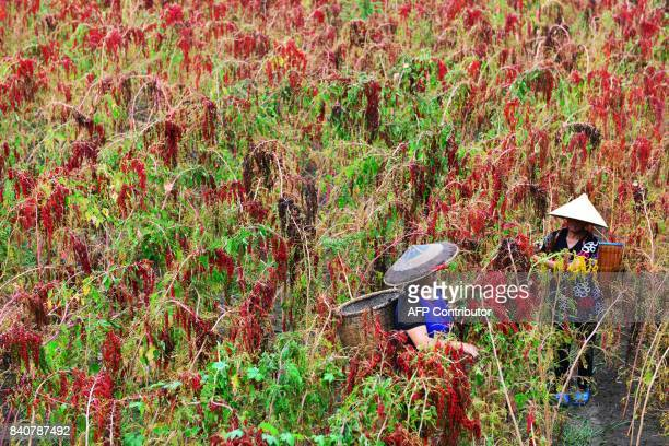 TOPSHOT This photo taken on August 29 2017 shows Chinese farmers harvesting red quinoa in Jianhe in China's southwestern Guizhou province / AFP PHOTO...