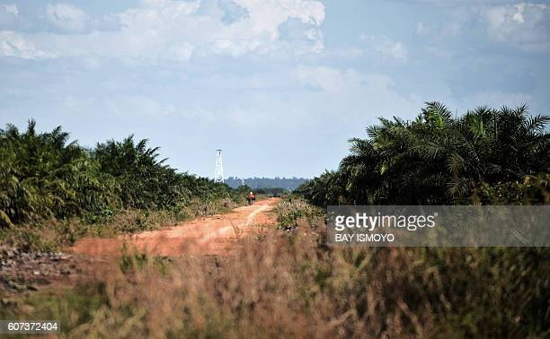 This photo taken on August 3 2016 shows a dirt lane in a palm oil plantation in land that was once a jungle in Manjau West Kalimantan province The...