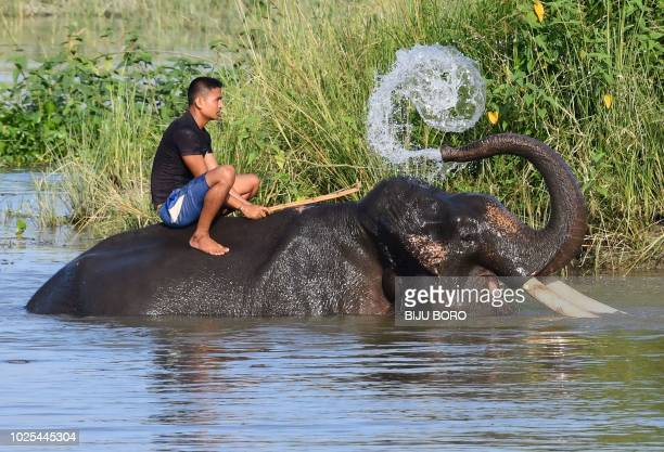 This photo taken on August 30, 2018 shows an Indian mahout sitting on his elephant as it washes itself at the Pobitora Wildlife Sanctuary, some 45km...