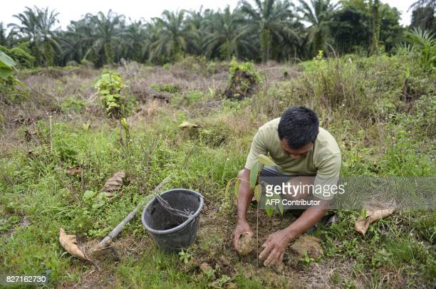 This photo taken on August 6 2017 shows a worker from the Leuser Conservation Forum or Forum Konservasi Leuser replanting tree saplings as oil palm...