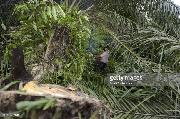 This photo taken on August 6 2017 shows a worker from the Leuser Conservation Forum or Forum Konservasi Leuser cutting down illegallyplanted oil palm...