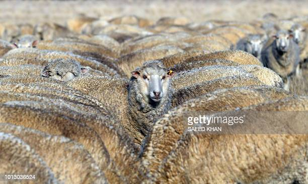 This photo taken on August 7 2018 shows sheep feeding on cottonseed on a dry paddock in the droughthit area of Duri in New South Wales A crippling...