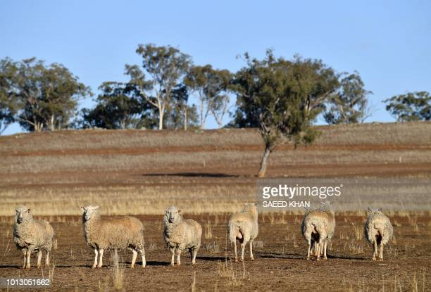 This photo taken on August 7 2018 shows sheep grazing on a dry farm paddock in the droughthit area of Duri in New South Wales A crippling drought is...
